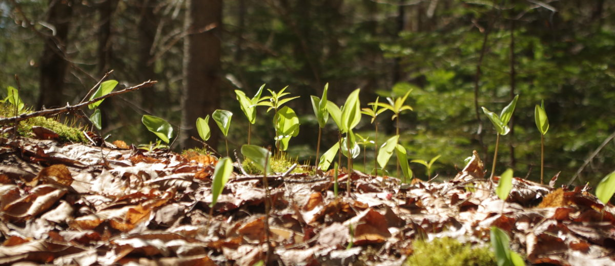 leafy plants grow in sunlight on the forest floor