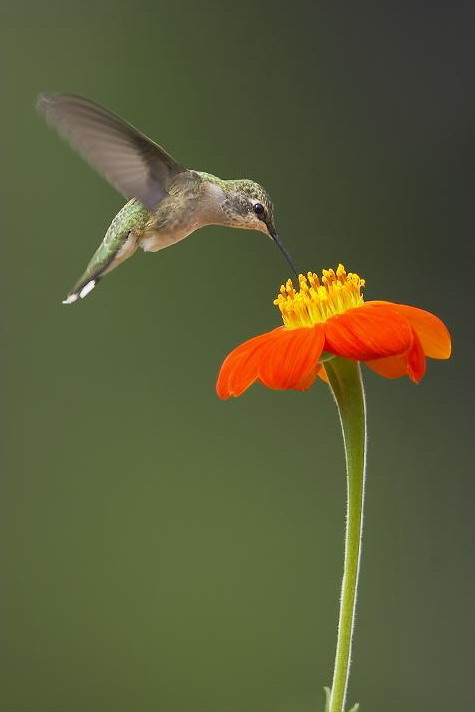 a hummingbird hovers above a flower